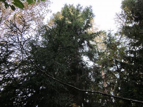 Лесной участок 13 соток, Минское шоссе, Сивково, Зеленая роща