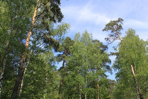 Лесной участок с соснами со всеми коммуникациями в жилом посёлке